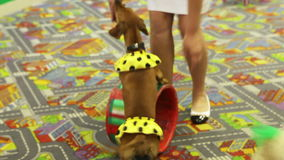 Trained dogs. Performance of trained dogs on children's festival stock video footage