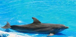 Trained dolphin on the edge of the aquarium Stock Photos