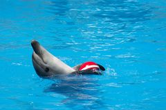 Trained dolphin. A trained dolphin holds the ball Royalty Free Stock Image