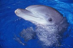 Trained Dolphin, Magic Mountain, Los Angeles, CA royalty free stock image