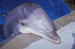 Trained Dolphin, Magic Mountain, Los Angeles, CA Stock Photos