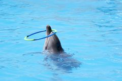 Trained dolphin. Twists the hoop Stock Photo