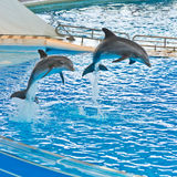 Trained Dolphins Jumping Stock Photo
