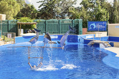 Trained Dolphins jumping in a pool royalty free stock photo
