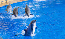 Trained Dolphins jumping in a pool. Show with group of  jumping dolphins in the water park Marineland , Spain Stock Images