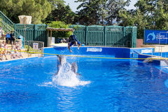 Trained Dolphins jumping in a pool Royalty Free Stock Image
