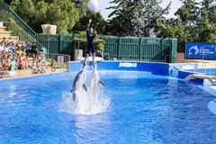 Trained Dolphins jumping in a pool stock images