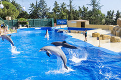 Trained Dolphins jumping in a pool Stock Image