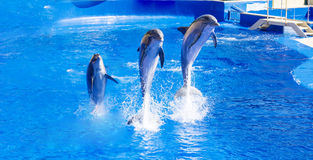 Trained Dolphins jumping in. Dolphins show in water park Marineland , Spain Stock Photos