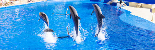 Trained Dolphins jumping in water park pool Stock Photos