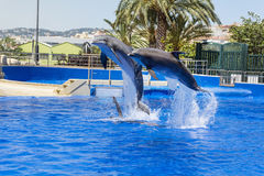 Trained Dolphins jumping in water park pool. Dolphins show in water park Marineland , Spain Royalty Free Stock Images