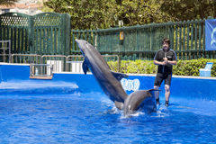 Trained Dolphins jumping in water park pool stock photo