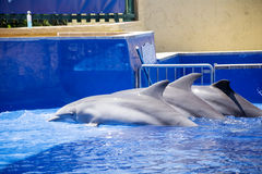 Trained Dolphins  in water park pool Stock Photos