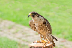 Trained domesticated for hunt raptor bird hawk or falcon Royalty Free Stock Image