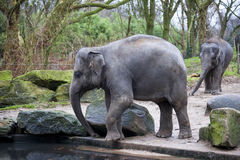 A trained elephant goes after a hard day in the jungle. Working Indian elephant goes to the watering hole in the village . Royalty Free Stock Photography