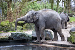 A trained elephant goes after a hard day in the jungle. Working Indian elephant goes to the watering hole in the village . Stock Image