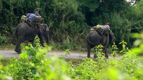 Trained elephants. Myanmar, Yangon. 15/11/2013 stock video footage