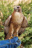 Trained hawk sitting on the falconer's glove Stock Photo