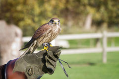 Trained hawk, used in the sport of falconry, stands perched on t Royalty Free Stock Photo