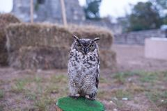 Oehoe owl on a medieval festival. Trained for hunting owl on a stand presented in medieval festival in europe Royalty Free Stock Images