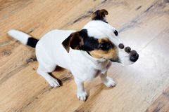 Trained Jack Russell sitting with three piece of food on his nose waiting for command. Royalty Free Stock Photos