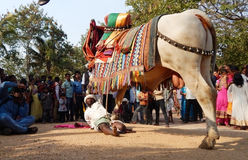 Trained Man play with decorated bull Stock Images