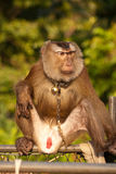 Trained monkey Royalty Free Stock Images
