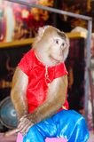 Trained monkey performing in circus Royalty Free Stock Image