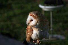 Alert Barn Owl stock photos