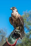 Trained saker on the falconer`s hand Stock Image