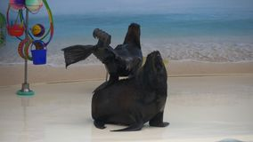 Trained seals. Show different tricks to viewers stock video