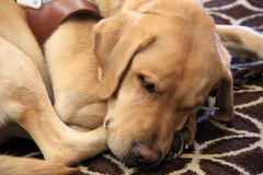 Trained seeing-eye dog resting Stock Images