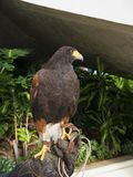 Harris Hawk in the grounds of a luxury Hotel in Funchal Madeira Portugal called Sunshine. Stock Images