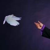 Trained white dove Stock Image
