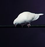 Trained white dove Stock Images
