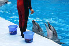 Trainer feeding dolphins Royalty Free Stock Images
