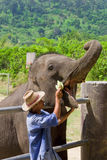 Trainer Feeding an Elephant Royalty Free Stock Photos