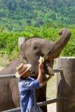Trainer Feeding an Elephant Royalty Free Stock Photos