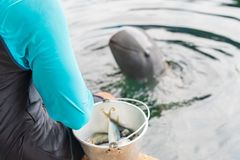 A trainer feeding raw small fish for dolphin. A trainer feeding raw small fish for dolphin in aquarium show stock image