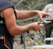 trainer holding Baby alligator Stock Photos