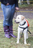 Trainer with labrador retriever guide dog Royalty Free Stock Images