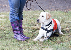 Trainer and labrador retriever guide dog Stock Photography