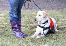 Trainer and labrador retriever guide dog Stock Photography