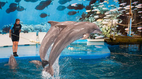 Trainer nd dolphins performing  in Dolphinarium Royalty Free Stock Images