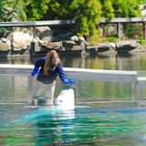 Trainer pets a beluga whale Royalty Free Stock Photography