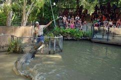 Trainer and and Saltwater Crocodile during an Attack Show in Que Stock Images