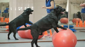 The trainer teaches the black labrador in the gym. The cynologist trains the dog in the gym. Black labrador looks on his coach. Clever dog balances on the ball stock video footage