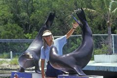 Trainer with two performing sea lions, Theater of the Sea, Islamorada, FL Stock Photo