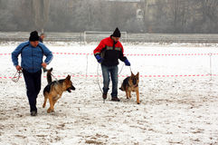 Trainers with Alsatian dogs. Two male trainers with Alsatian or German Shepherd dogs in snowy field during competition stock image