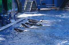 Trainers and The Whales at Sea World in Orlando  Stock Photo